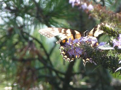 raggedy tiger swallowtail