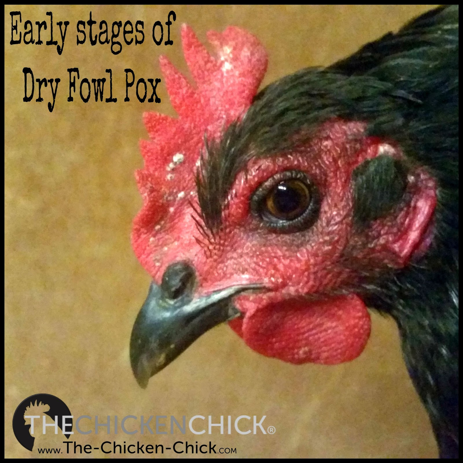 The Chicken Chick®: Fowl Pox Prevention & Treatment