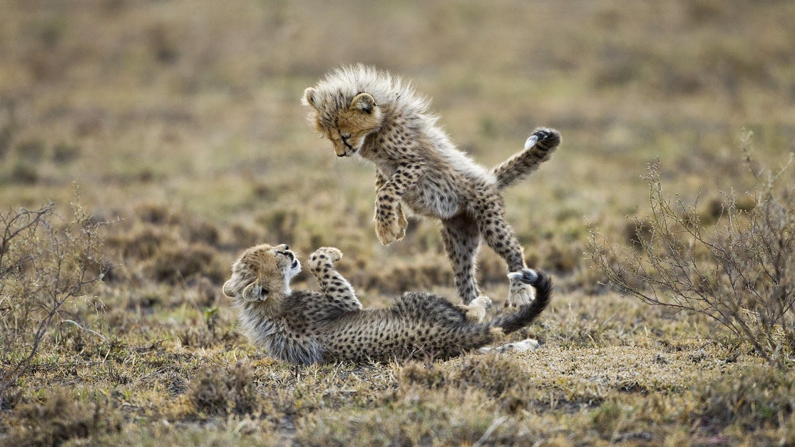 Incredible facts of Cheetah and Information of the fastest mammal ...