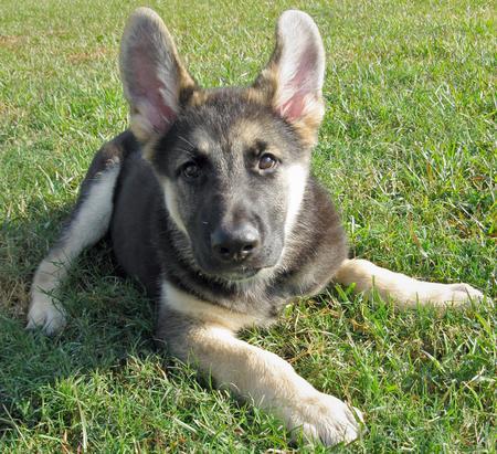 About Dog Shiloh Shepherd