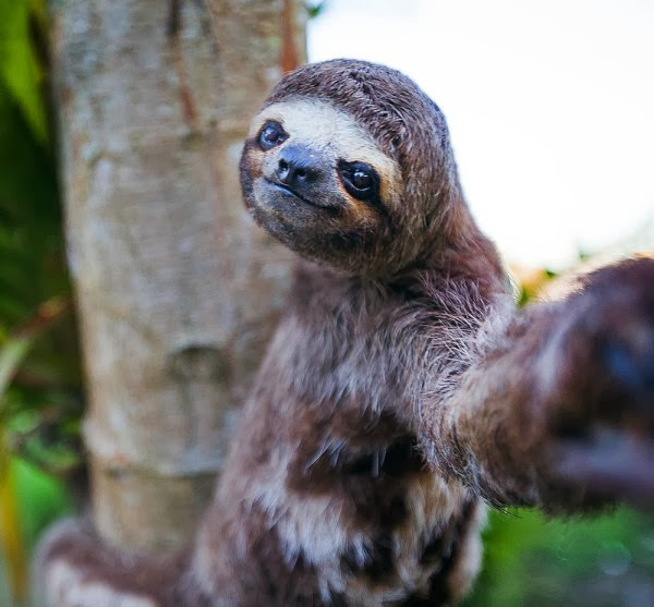 Funny animals of the week - 27 December 2013 (40 pics), sloth taking selfie