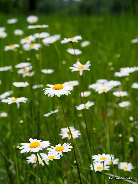 kwiaty , łąka , wiosna , margaretka