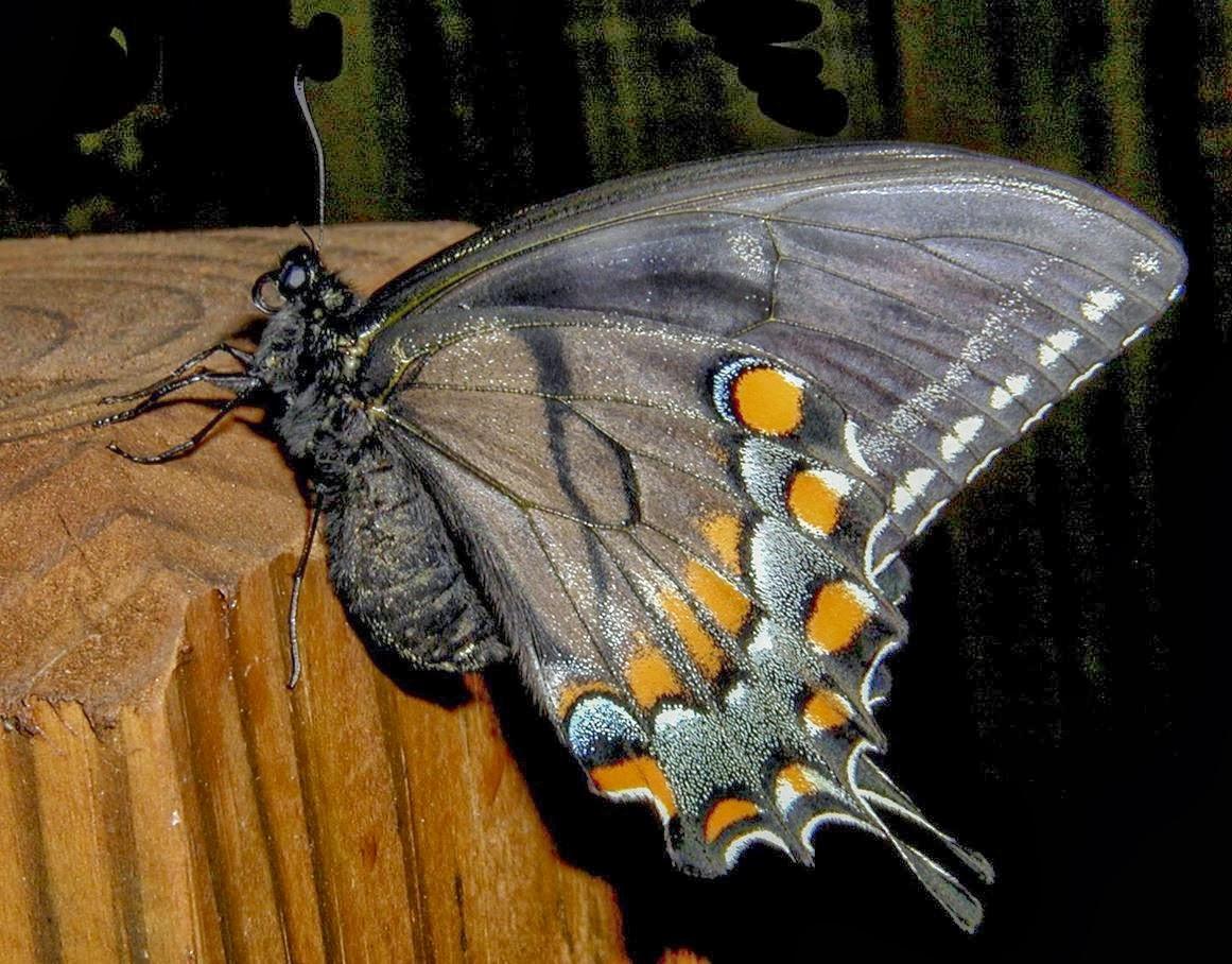 sininen perhonen viesti tuonpuoleisesta Pieksamaki