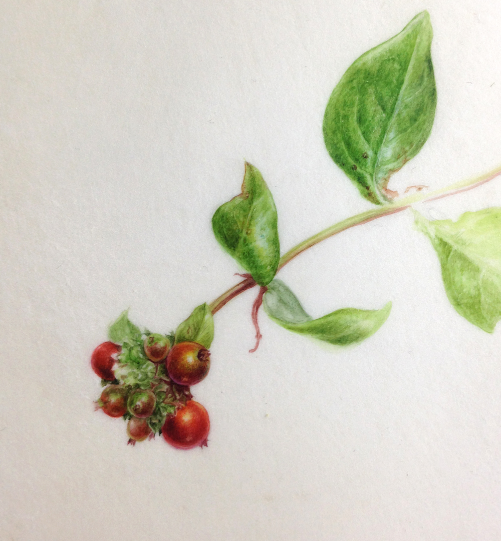 Honeysuckle berries, watercolour on vellum painting