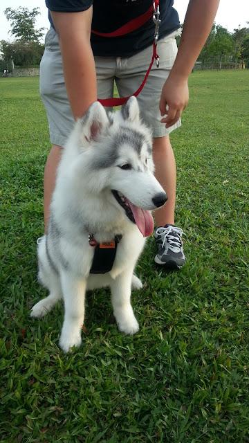 cute Chester the Husky dog