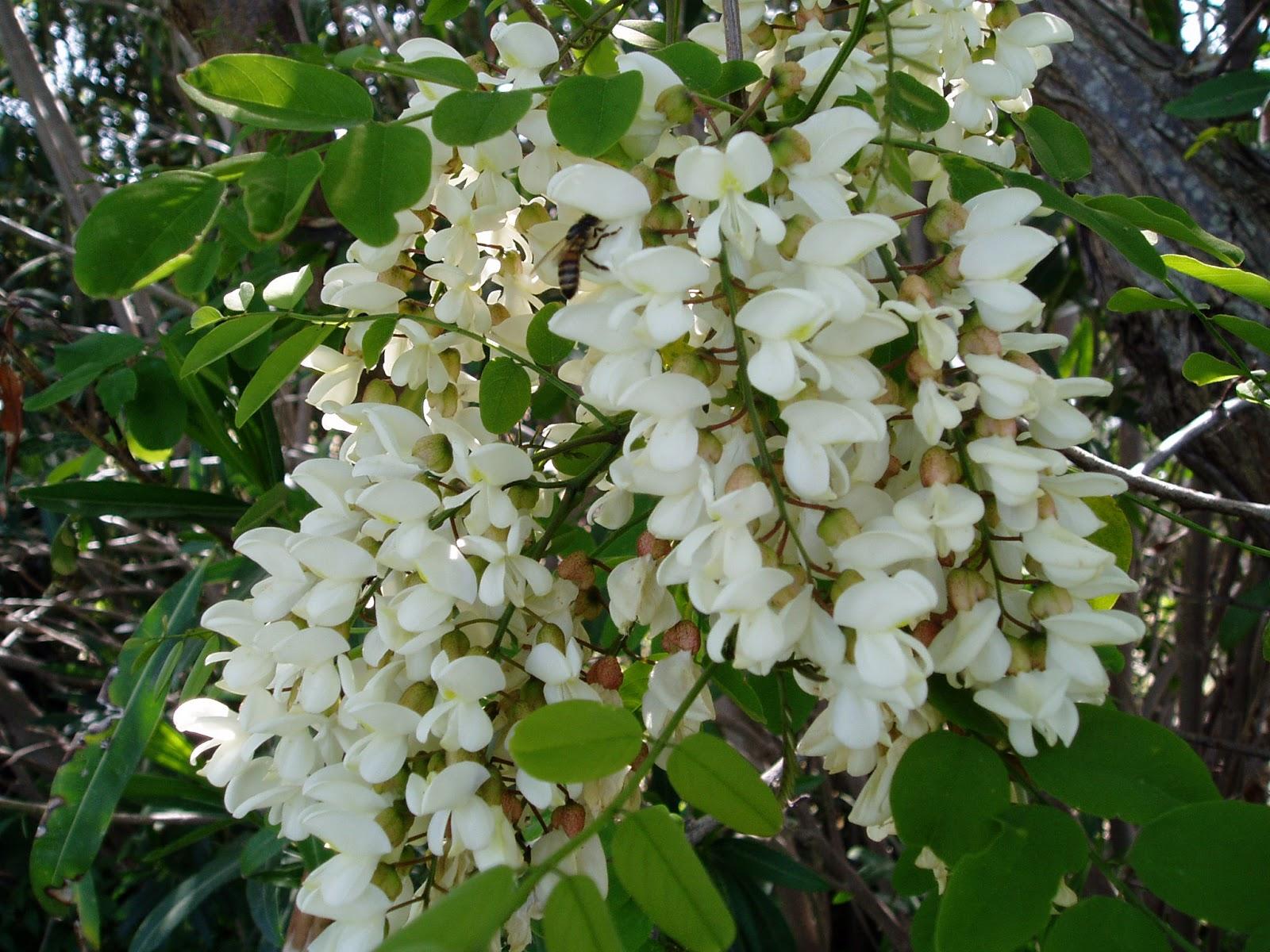 Arbusti e piante acacia for Fiori piccoli bianchi