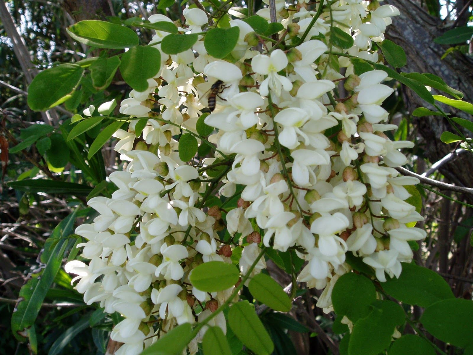 arbusti e piante acacia