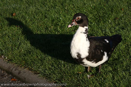 It's a duck (I think) and there aint nothing like it on Google or Bing, deep sigh... photograph