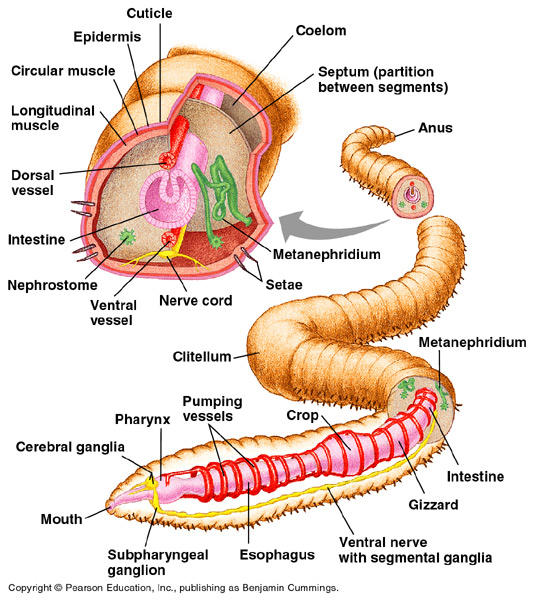 Color Coded Earthworm Diagram - Trusted Wiring Diagram •