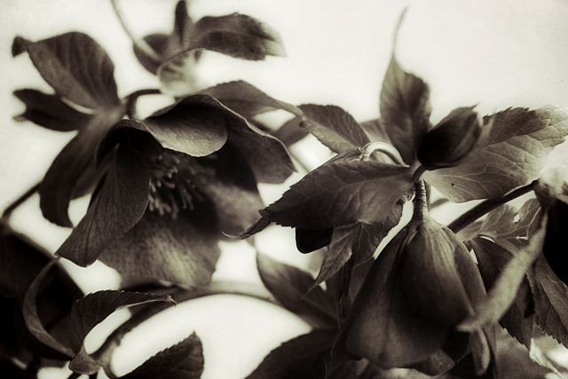 A black and white photograph of a bunch of hellebores.