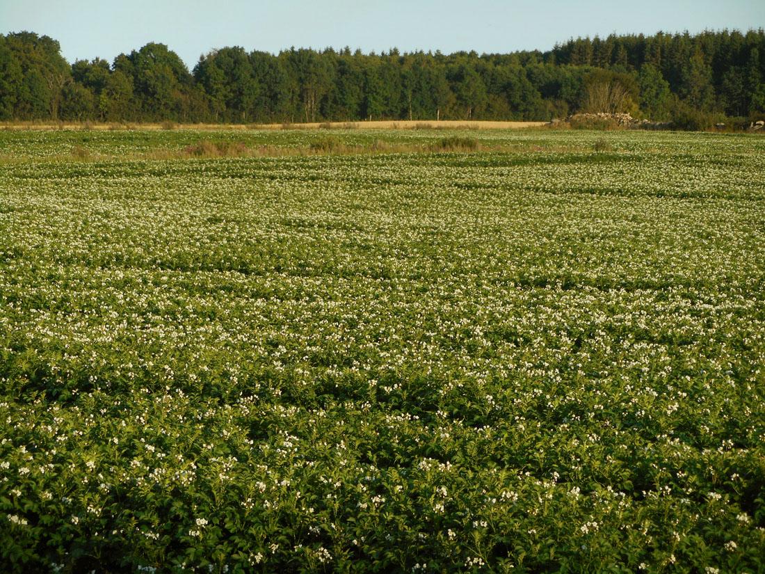 Campi di patate in fiore