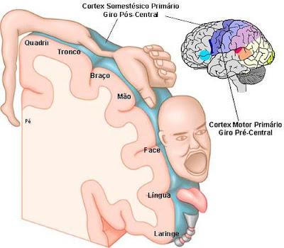 Motor cortex homunculus