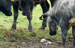 Baby seal stranded in field of cows