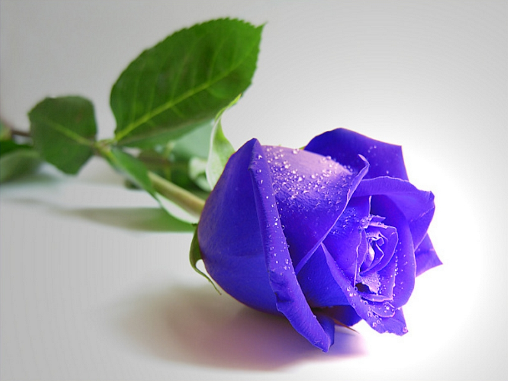 blue rose wallpapers | wallpaper