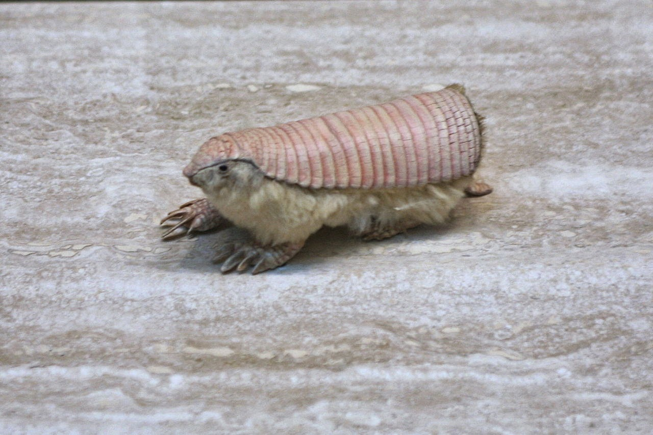 Animals You May Not Have Known Existed - Pink Fairy Armadillo