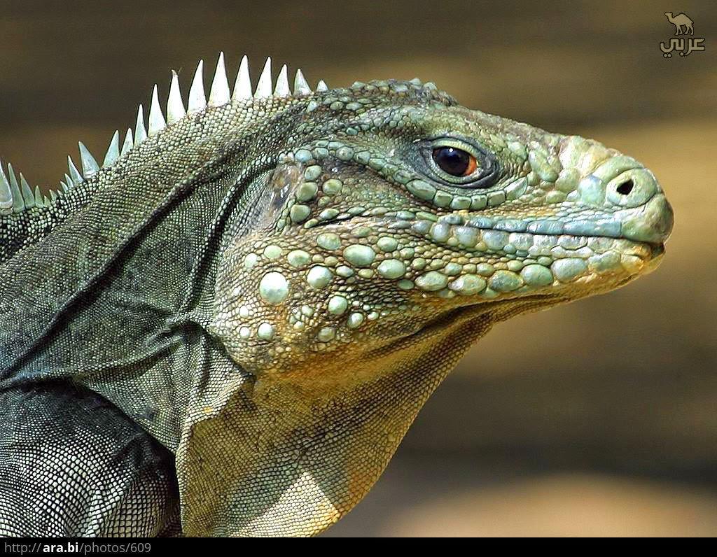 صعيدى يبيع سحليه لامريكى بـ5 مليون دولار على انها ديناصور