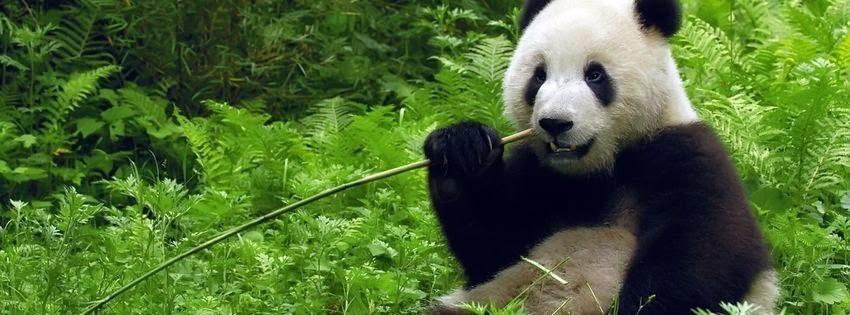 Une belle couverture facebook panda