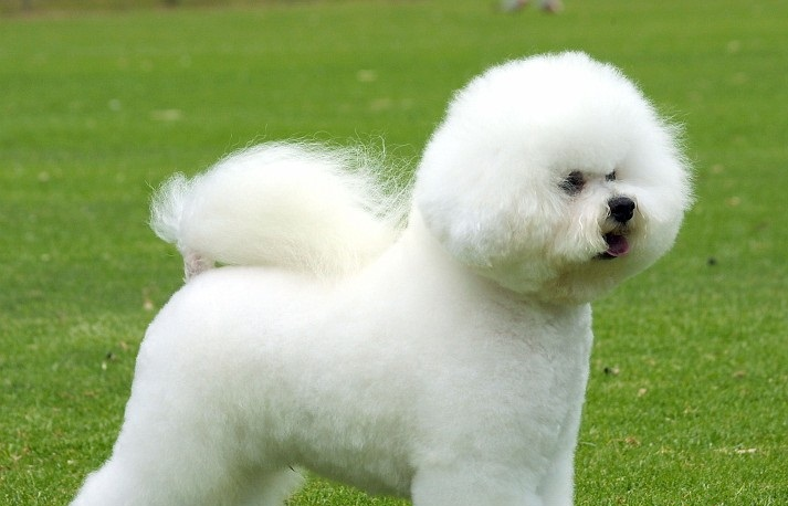 Bichon Frise Puppy Pictures And Information Puppy