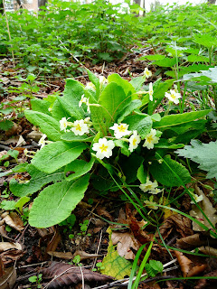Primrose, Sefton Park Cricket Club Woodland