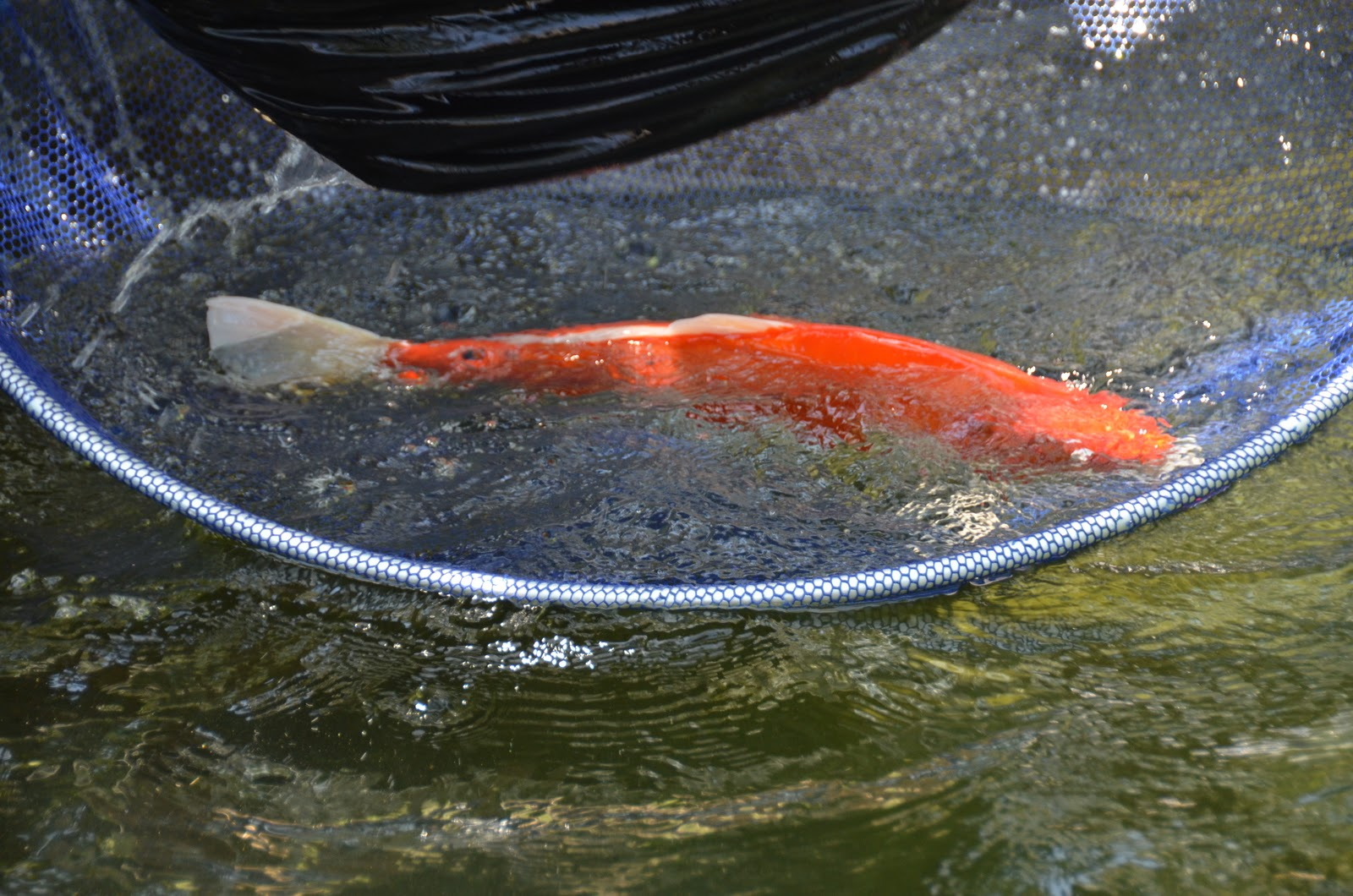 Koi fish for the koi pond a grateful life for Fish daddy s