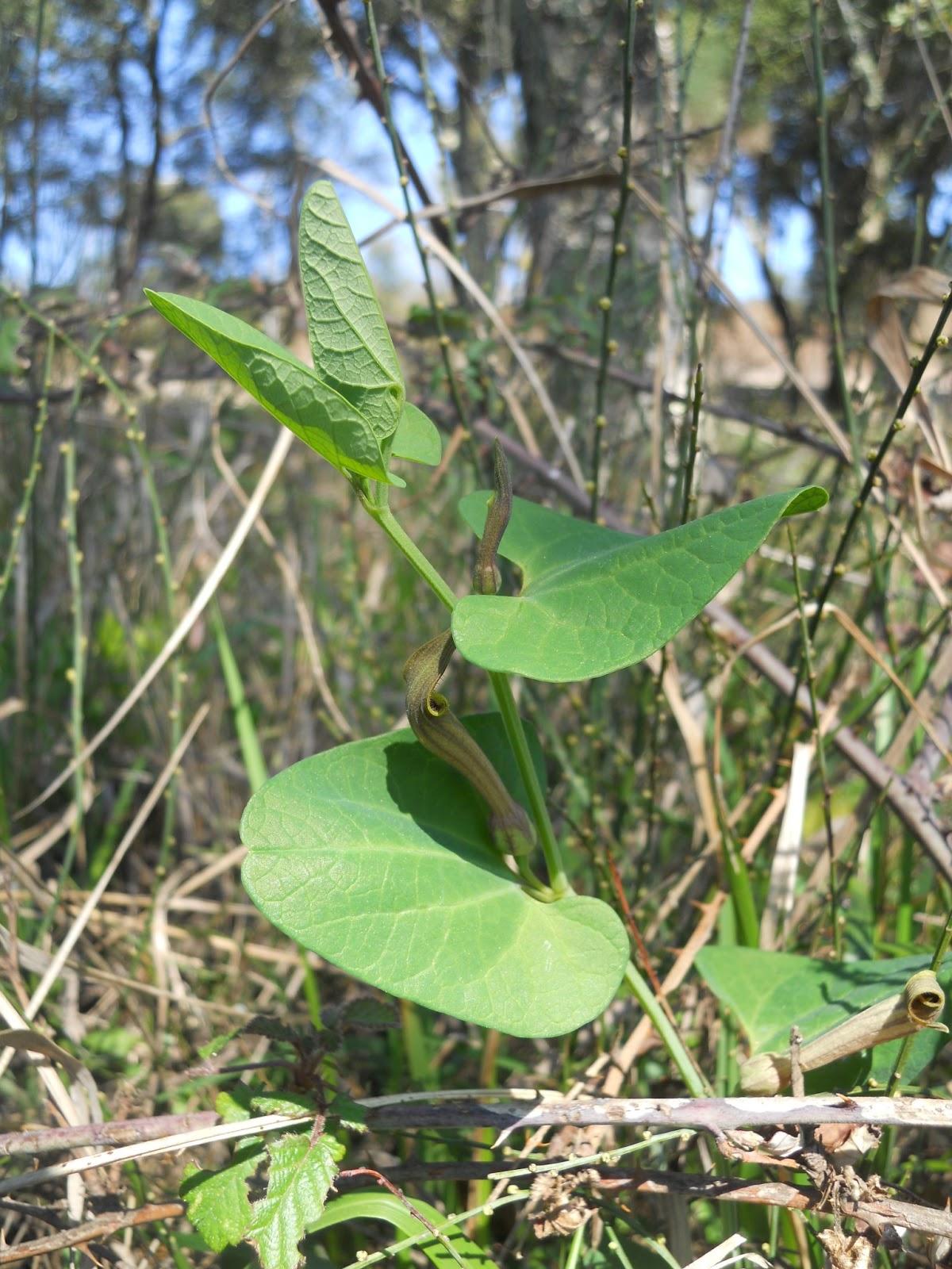 Aristolochia nutricia da bolboreta  Iphiclides podalirius