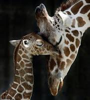 girafa e filhote