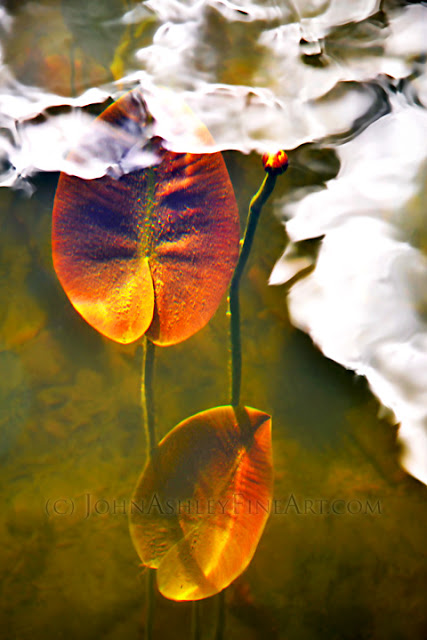 Yellow Pond Lily (c) John Ashley