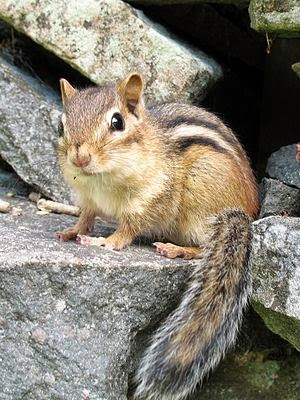 Uncredited Photo of Chipmunk