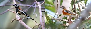 Ciri-ciri burung anis Kembang jantan dan betina