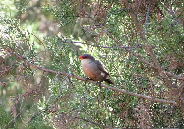 Common Waxbill - Spain