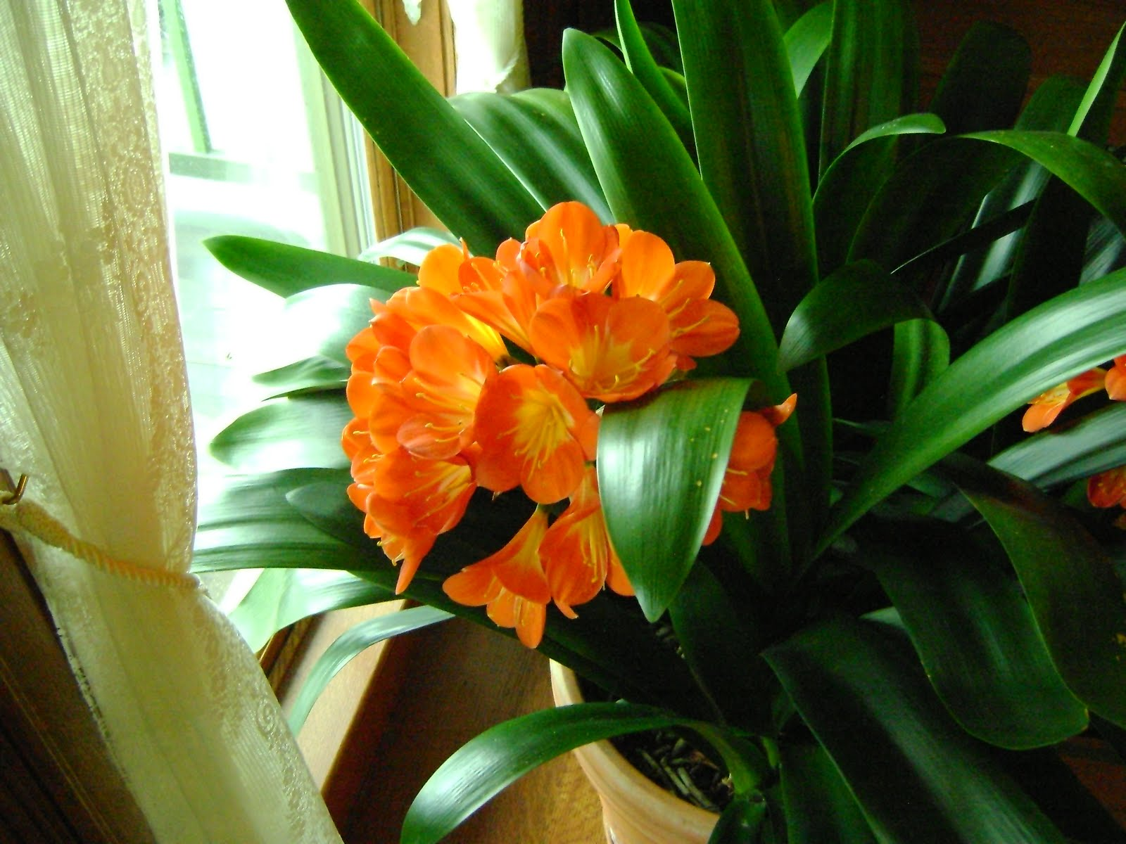 Our Clivia are Killer