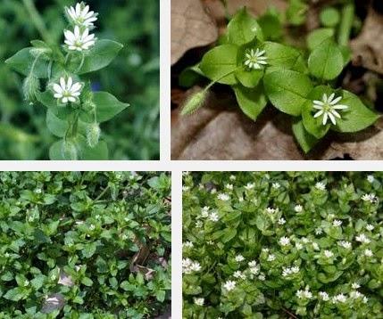 chickweed herbal medicine