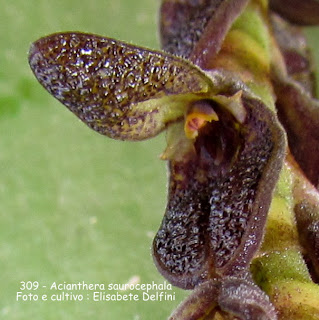 Acianthera saurocephala variedade 1 do blogdabeteorquideas