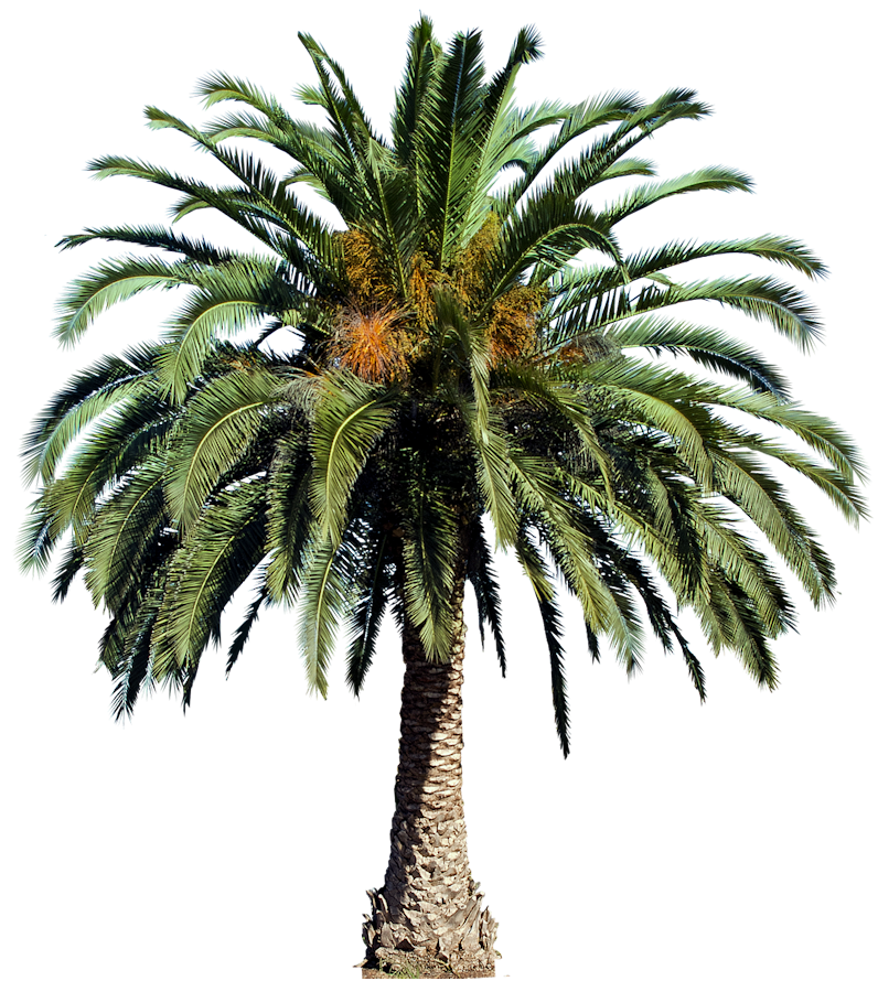 Phoenix Canariensis Canary Date Palm on Tropical Ornamental Trees