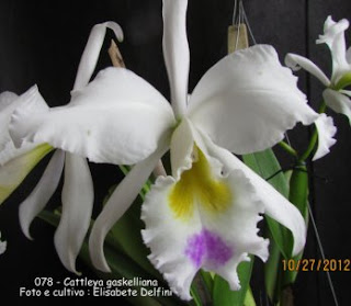 Cattleya gaskelliana(S/A Eneas x S/A Rainha dos Belgas)do blogdabeteorquideas