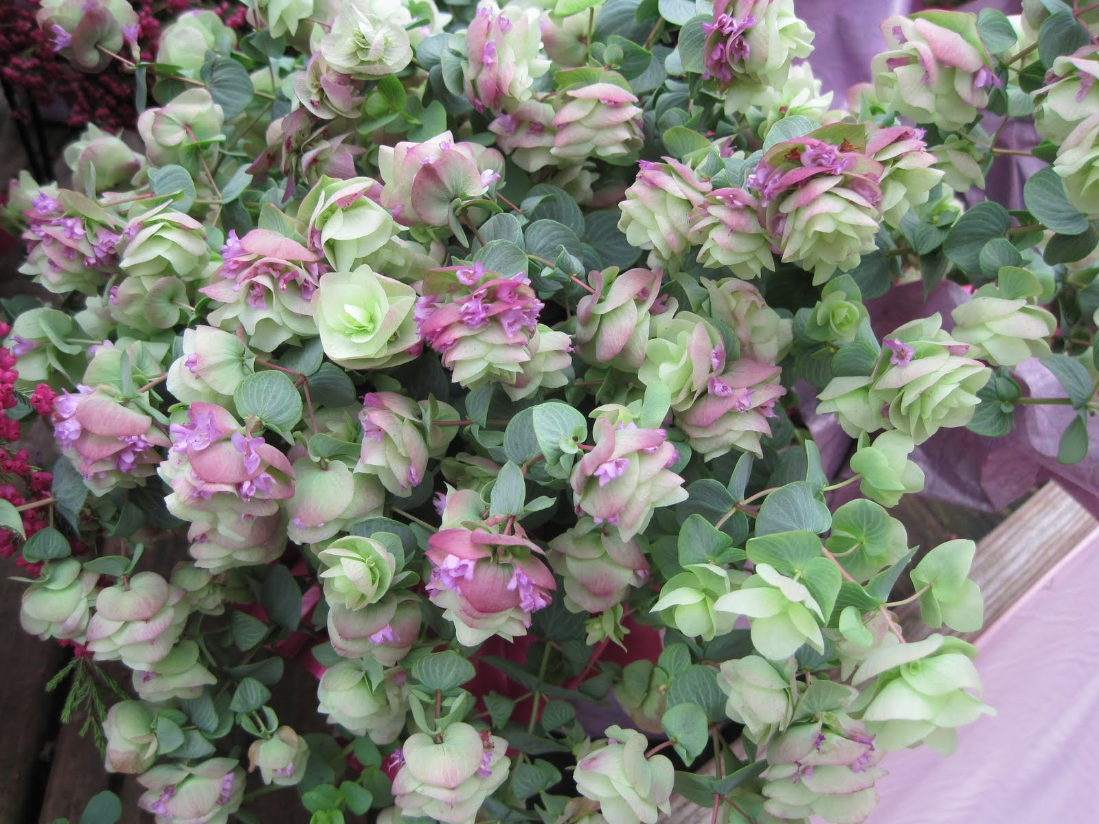 Gardening and gardens ornamental oregano for Ornamental garden plants