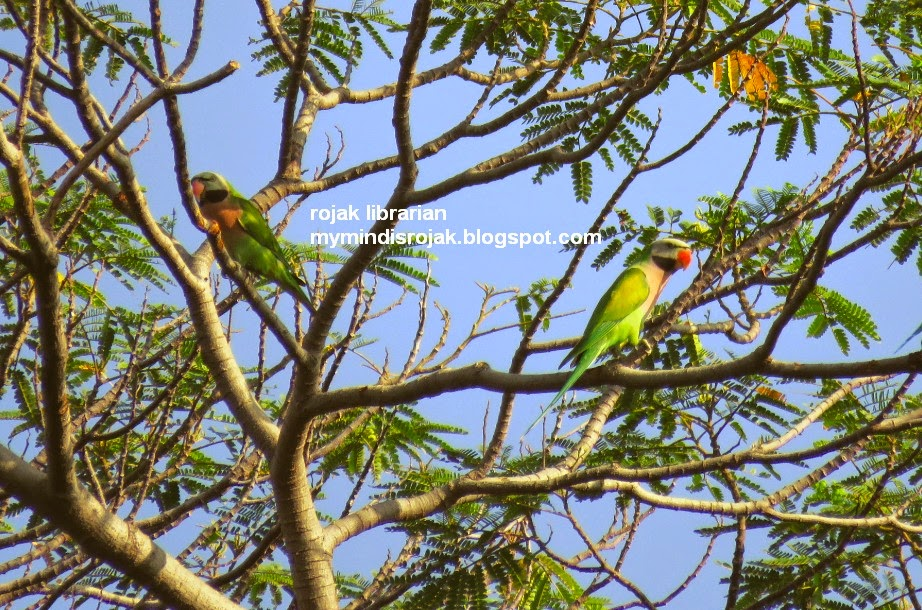 Red-breasted Parakeet in Tampines Echo Green