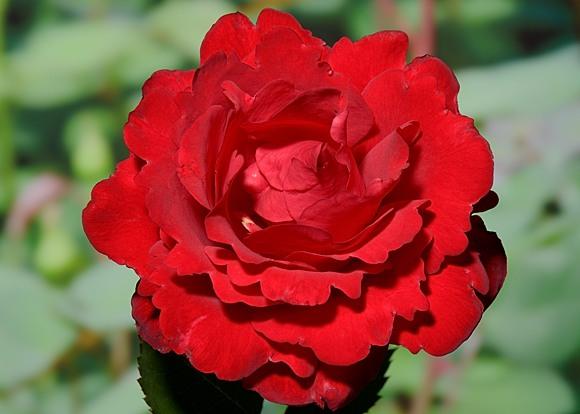 Traumfrau rose сорт розы