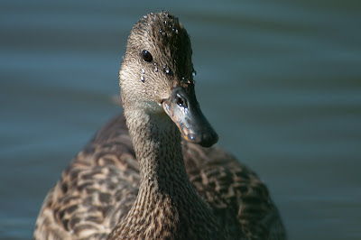 Female Mallard, Kountze Lake