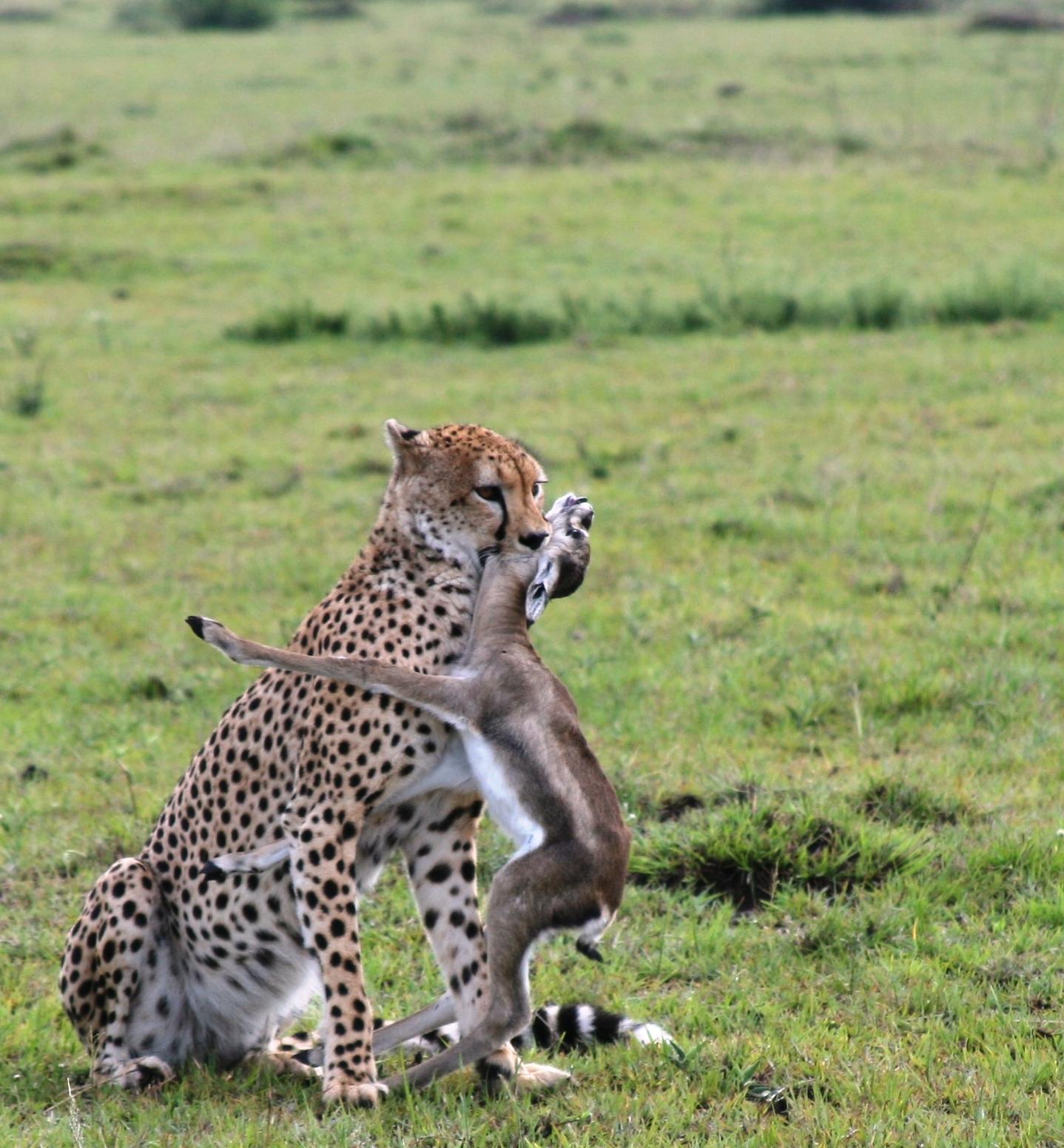 Cheetah Catching Prey