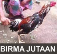 ayam bangkok ayam birma