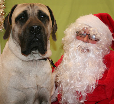 English Mastiff with Santa