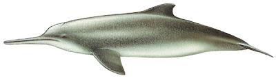 delfin del plata Pontoporia blainvillei