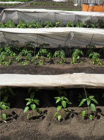 Высаженные помидоры и перцы уже окрепли, несмотря на холода