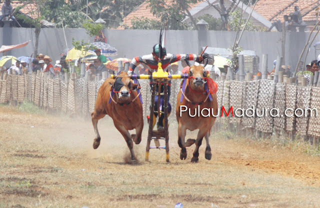 Kerapan Sapi Tingkat Kabupaten Bangkalan 2015