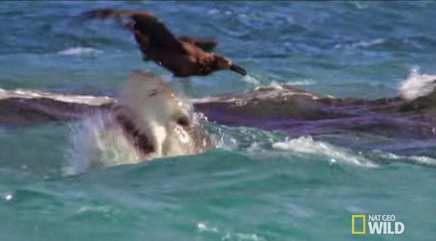 Tiger shark attacks albatross chick
