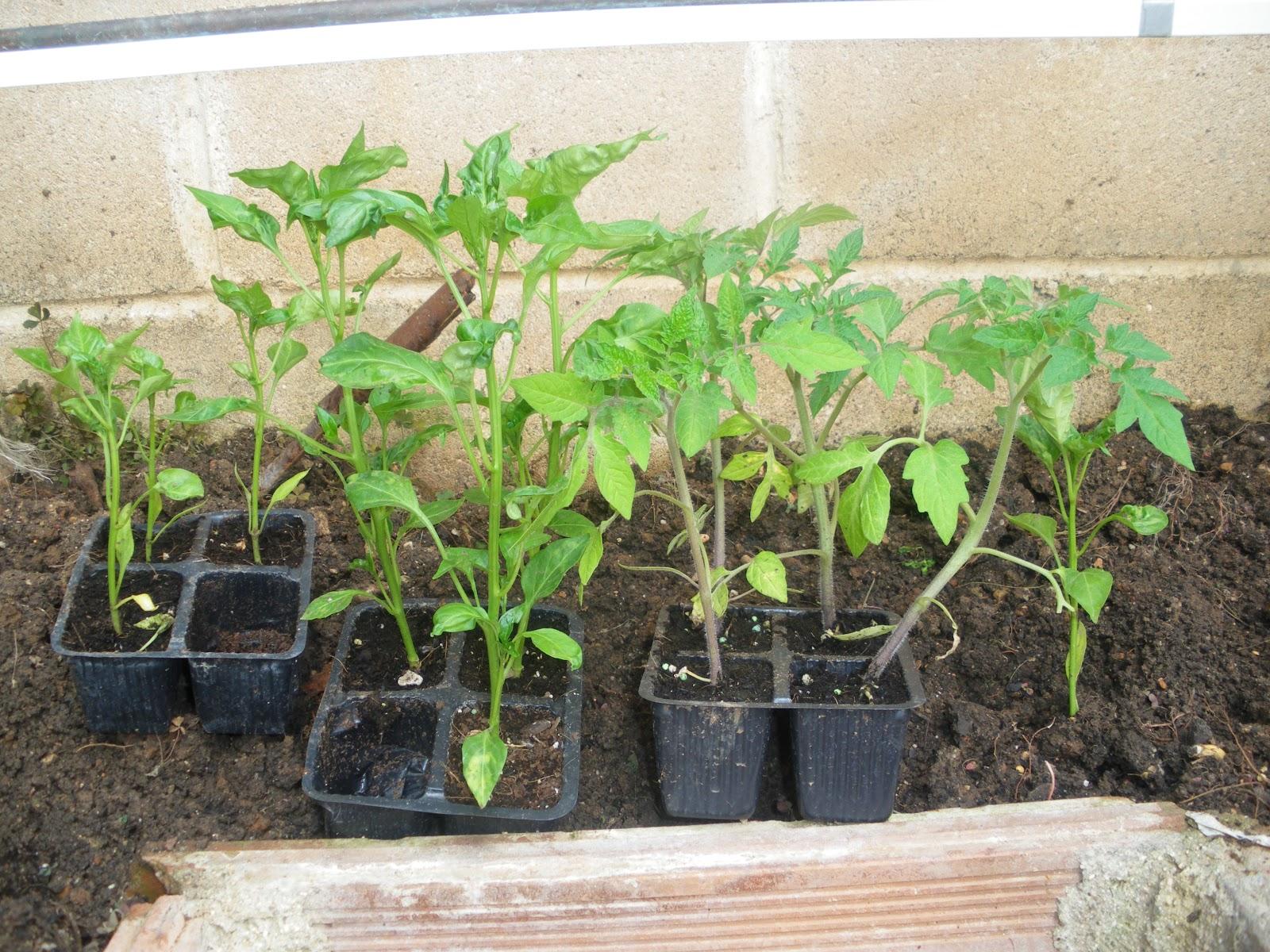 La thermomix de yolanda plantas aromaticas de huerto y - Huerto de plantas aromaticas ...
