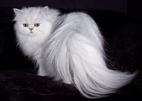 Images For: Beautiful White Cute Cat Pictures / Photos ...