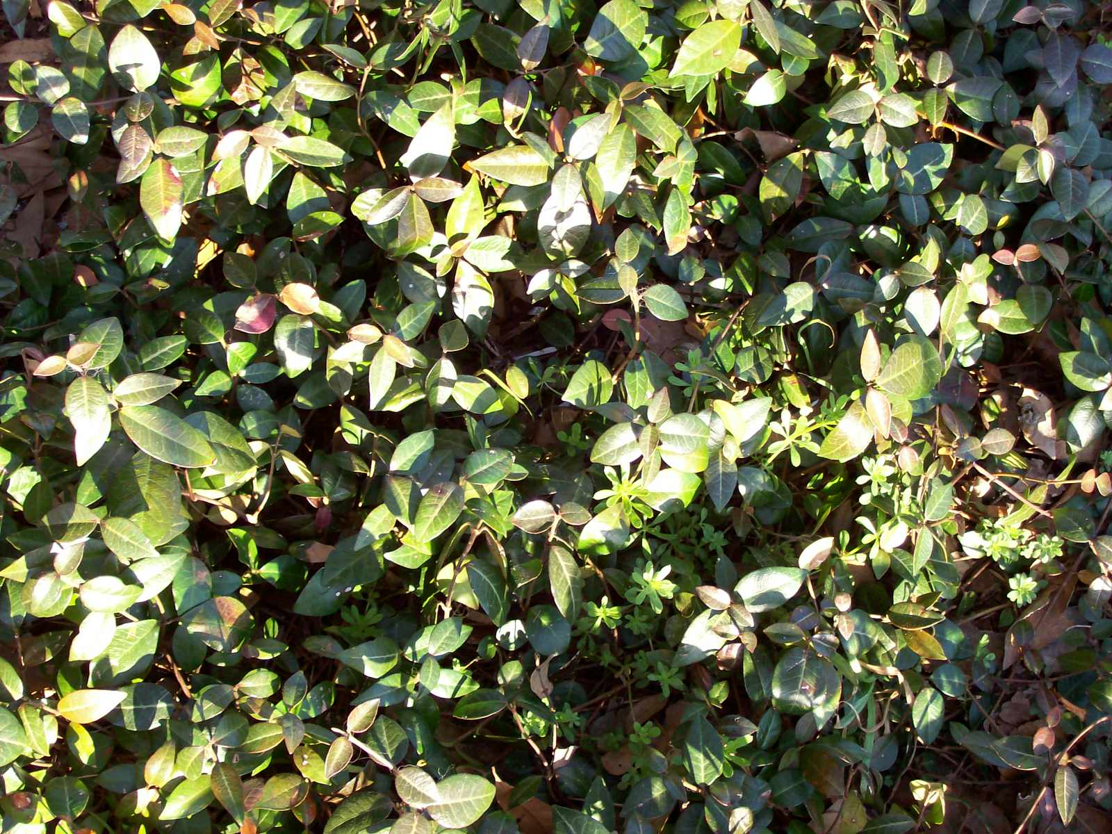 Roses and other gardening joys dont try this at home asian jasmine used as groundcover dhlflorist Gallery