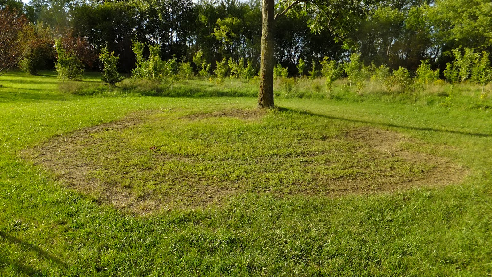 What To Grow Under Oak Trees : Picture the grass grows very poorly under oak tree red